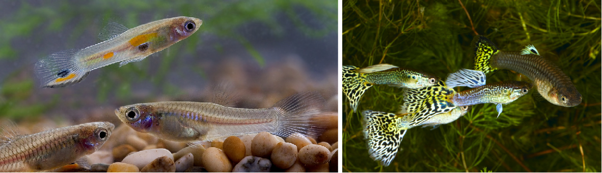 Wild and domestic guppies