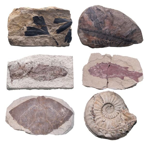 fossil plants and animals