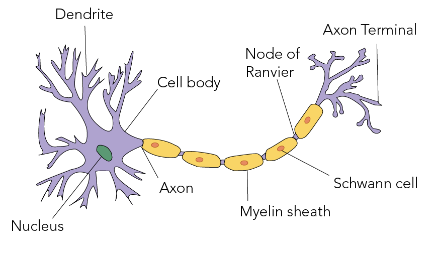 Parts of a neuron including the nucleus, dendrites, cell body, axon, myelin sheath, Schwann cells, nodes of Ranvier, and axon terminal
