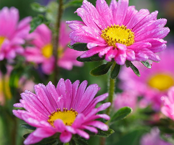 A group of pink daisies