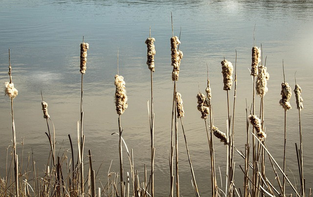 Cattails at a pond
