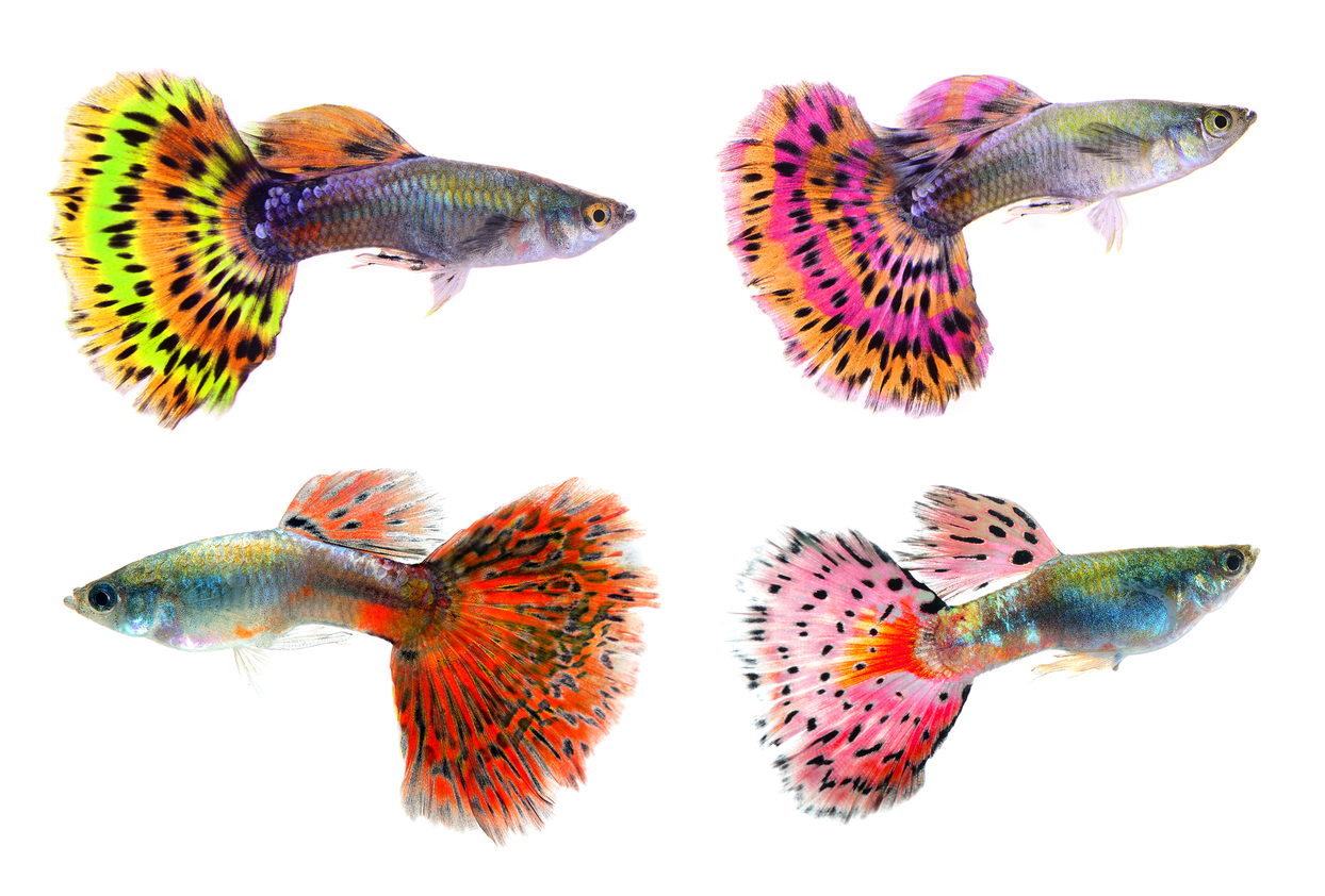 Guppies come in many different colours