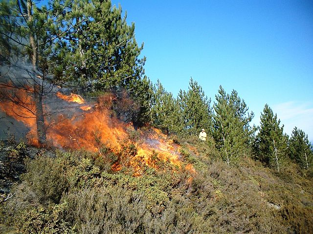 A prescribed burn in a pine forest