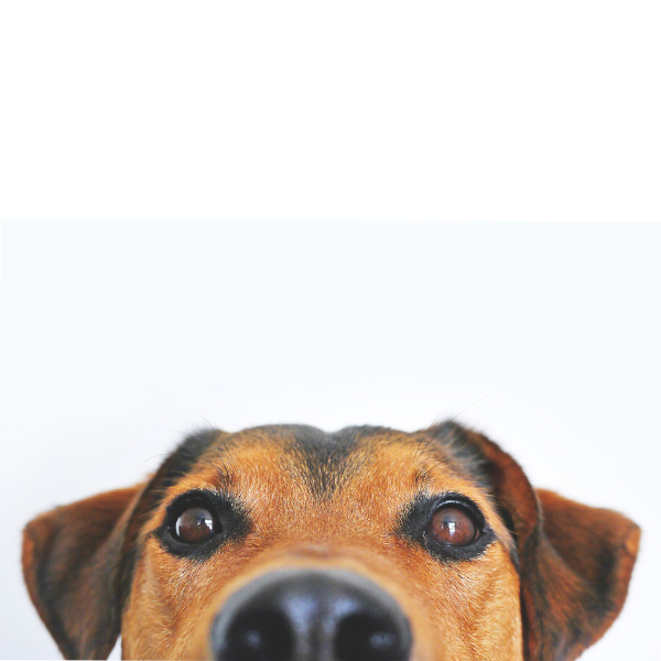 Close-up of a dog's eyes and nose