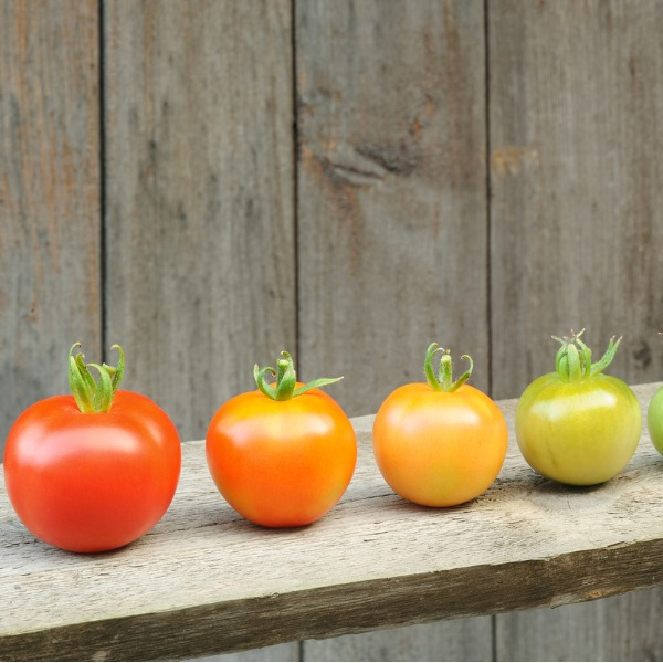 Maturation of tomato fruit