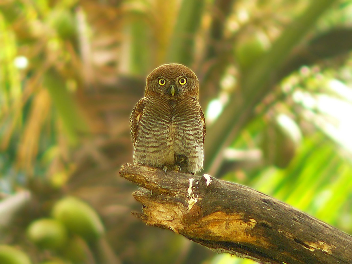 Owlet Blending in With Trees