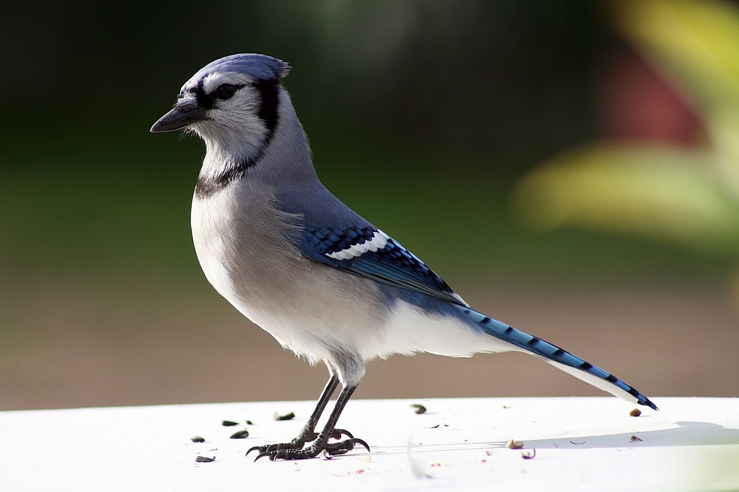 A bluejay with seeds nearby