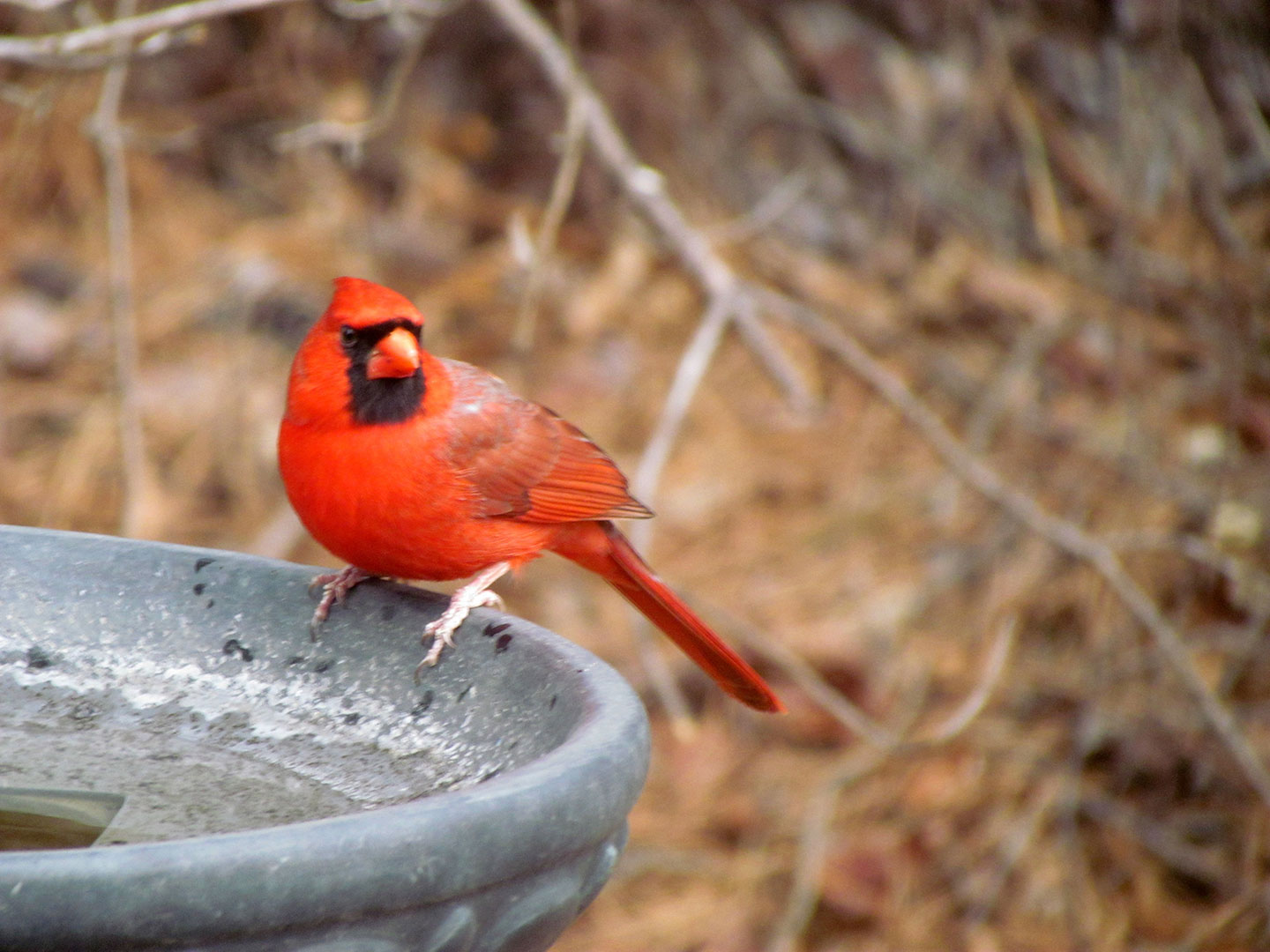 A Cardinal on the edge of a bird bath