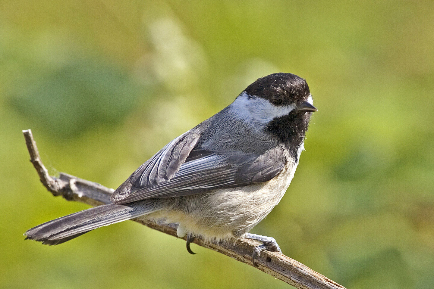 A chickadee perched on a twig