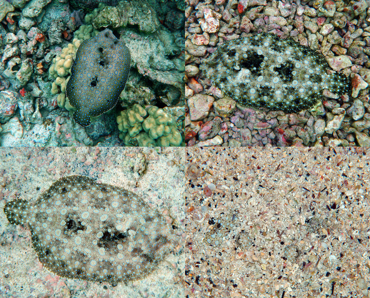 Flounder Fish Changing Colours