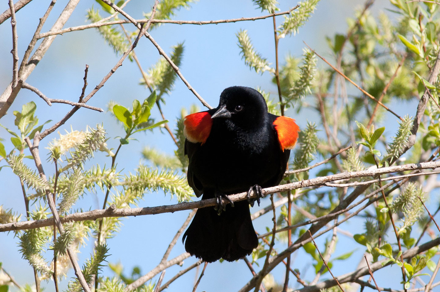 A red-winged blackbird on a tree branch