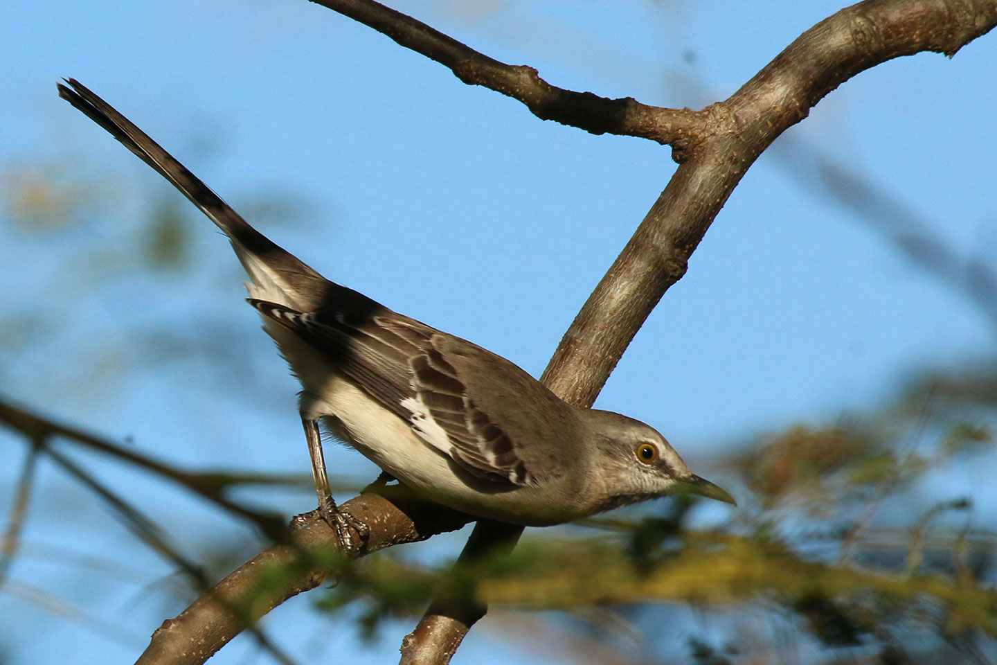 A mockingbird on a tree branch