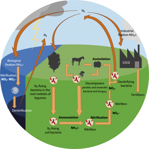 Illustration of the nitrogen cycle, including fixation, nitrification and denitrification