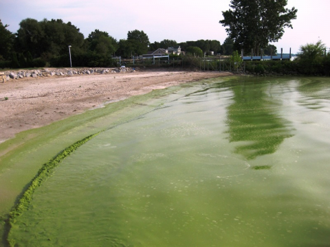 An image of an algal bloom on Lake Erie. This lake, which borders parts of southern Ontario, has suffered the effects of eutrophication at various times since the 1970s