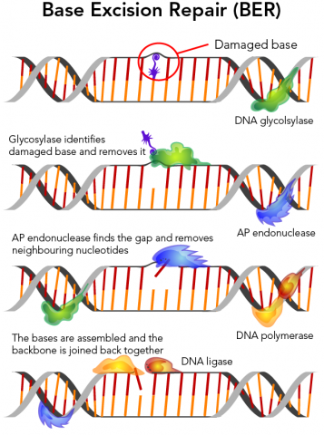 Base excision repair is one of the simplest forms of DNA repair