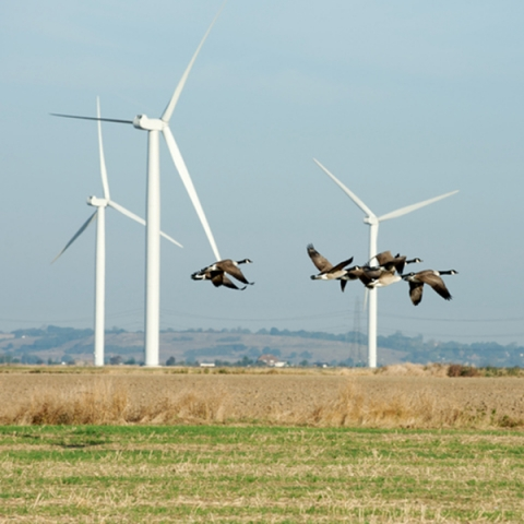 Birds flying near a wind farm
