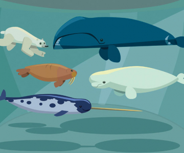 Narwhals, polar bears and other common Arctic animals swim in the Arctic waters.  Image © id-work, iStock