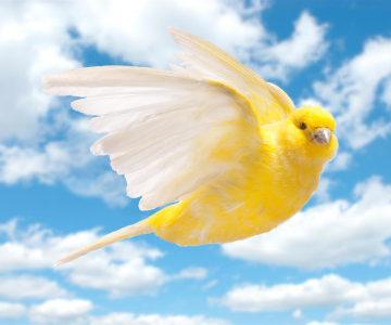 Canaries were once used to signal dangers to miners. - Image © Vito Cangiulli, iStockPhoto.com