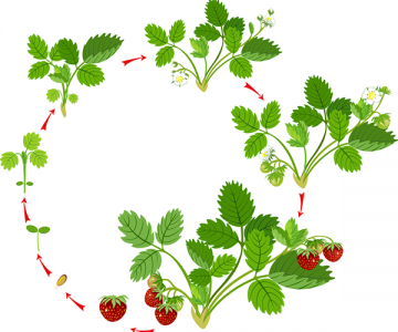 Life cycle of strawberry plant