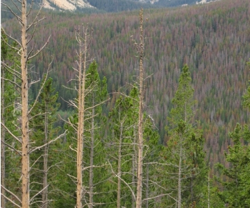 A forest damaged by pine beetles
