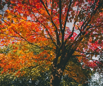 Colourful Maple Tree