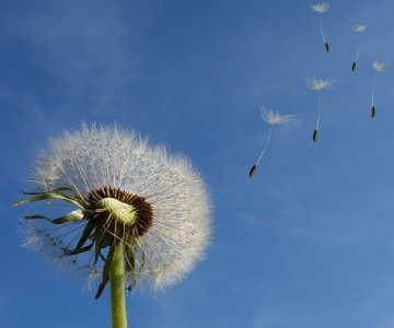 Dandelion seeds floating in the wind