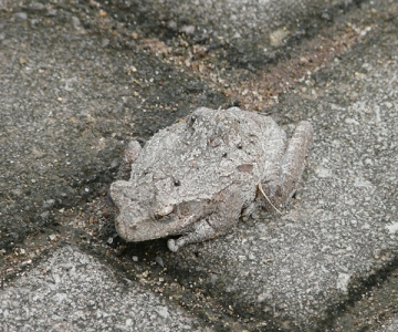 Toad camouflage matches stone it is on