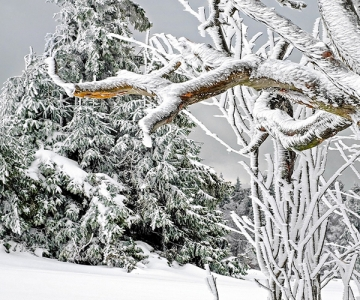 Coniferous and deciduous trees covered in snow