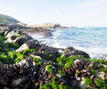 Mussels on a rocky coastline