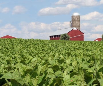 Field of tobacco plants, which are a source of nicotine