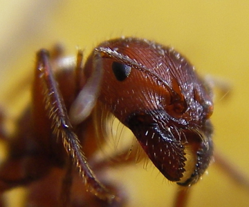 Ant mouthparts