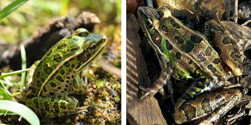 Northern Leopard Frog and Southern Leopard Frog