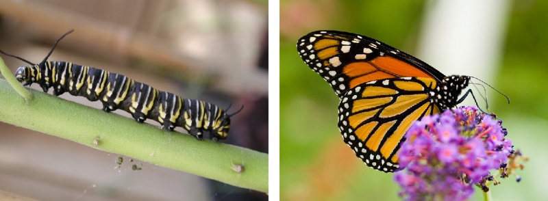 Monarch caterpillar and adult