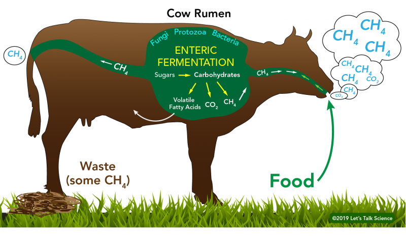 Enteric fermentation process in cows