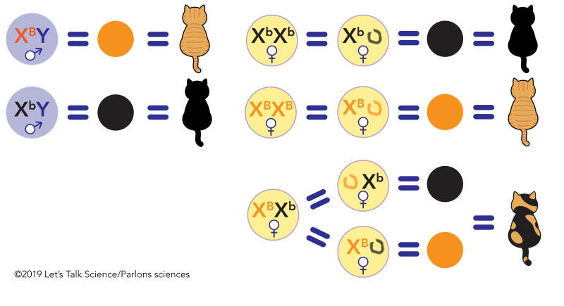 Combinations of alleles that produce different colours in cats