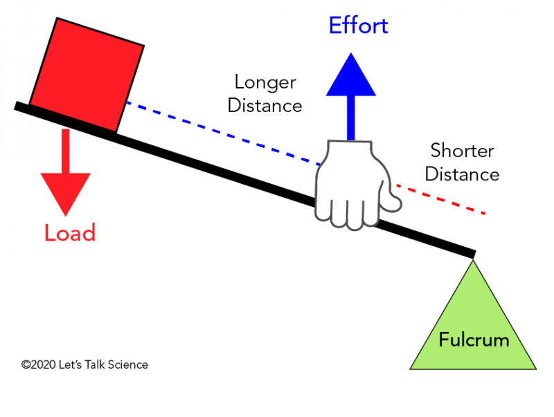 In a third class lever, the effort is located between the load and the fulcrum.