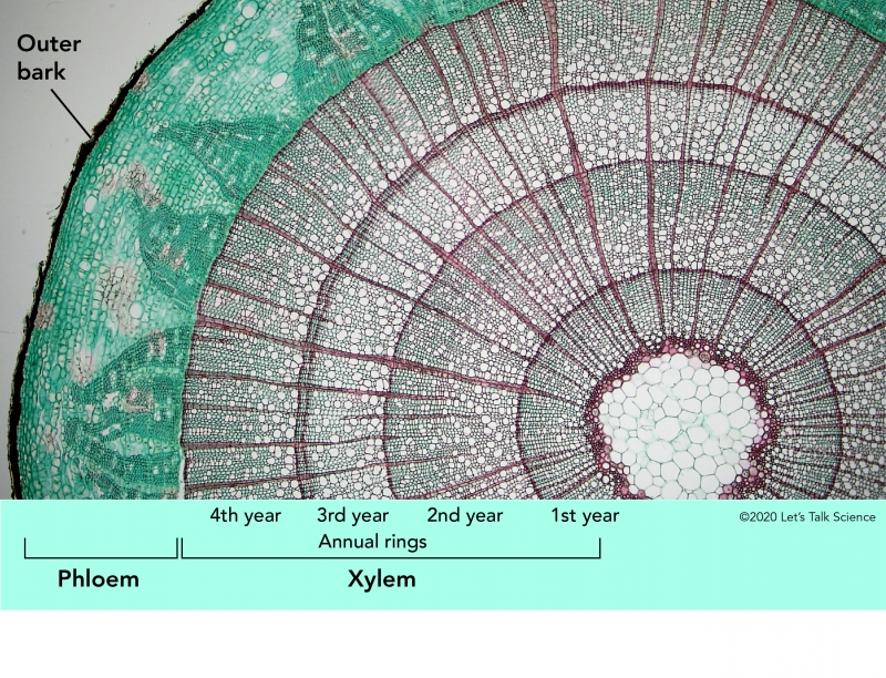 Tree cross-section showing the outer bark as well as the phloem and xylem