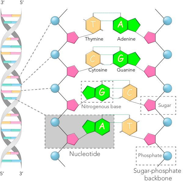 DNA structure showing the parts of DNA strands