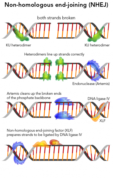 The process of non-homologous end-joining