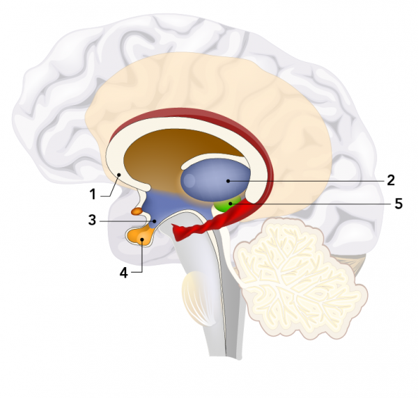 Interior parts of the brain including the (1) corpus callosum, (2) thalamus, (3) hypothalamus, (4) pituitary gland, and (5) pineal gland