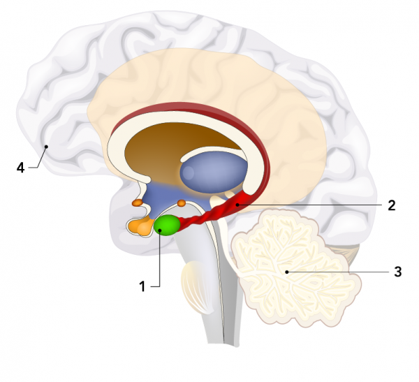 Parts of the brain involved in memory include the (1) amygdala, (2) hippocampus, (3) cerebellum and (4) prefrontal cortex
