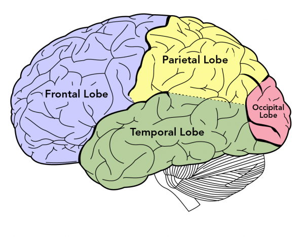 Lobes of the human brain (from left to right): Frontal lobe (blue), parietal lobe (yellow), temporal lobe (green) and occipital lobe (pink)