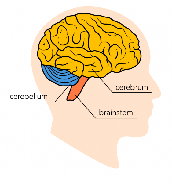 The three main parts of the brain include the cerebrum, cerebellum and the brainstem