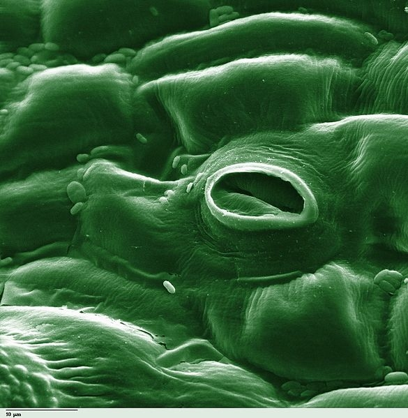 Stomata on the surface of a leaf