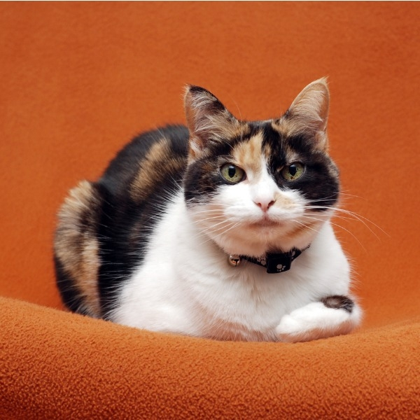 The Science Behind The Calico Cat S Colours Let S Talk Science