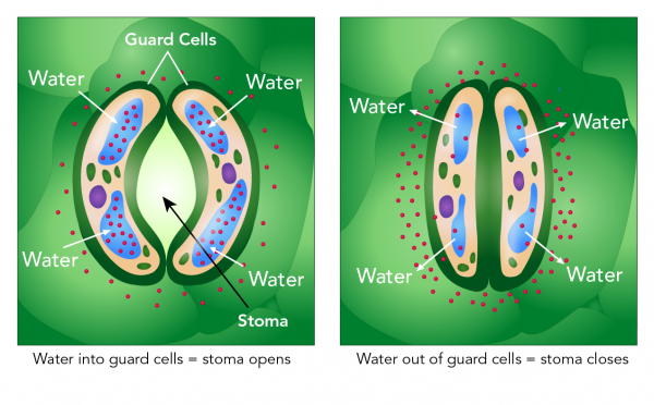Diagrams of open (left) and closed (right) stomata