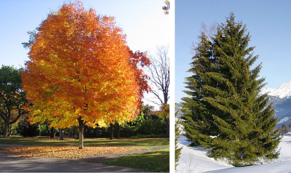 Sugar maple and Norway spruce