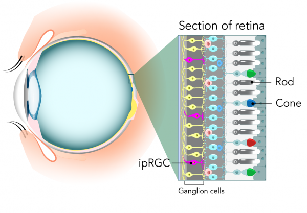 Section of the retina showing the location of photoreceptor cells