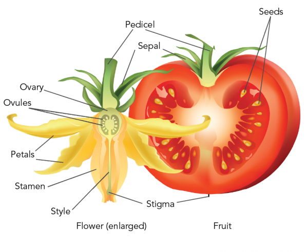 Tomato flower and fruit