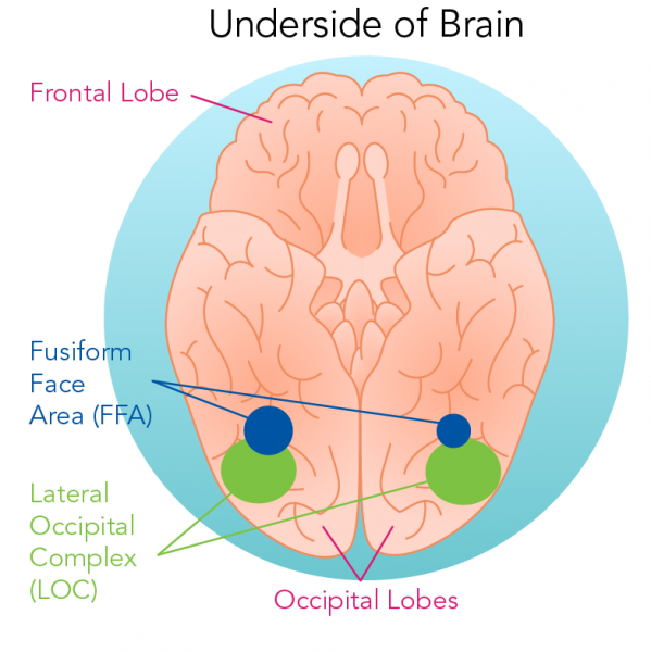 Location of the Fusiform Face Areas and Lateral Occipital Complexes
